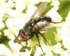 Epicampocera succincta male 20170804-8178 Copyright: Phil Collins