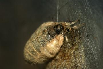 Vapourer Moth Female Copyright: Ben Sale
