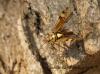Rhabdomiris striatellus taking off Copyright: Graham Ekins