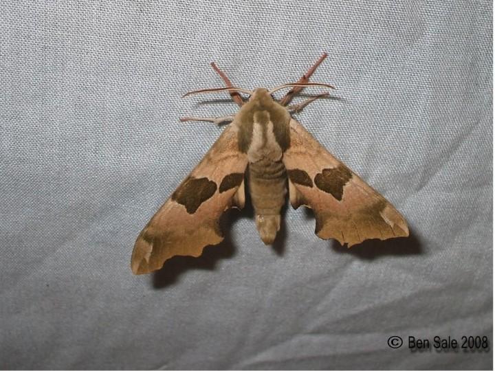 Lime Hawk-moth 4 Copyright: Ben Sale