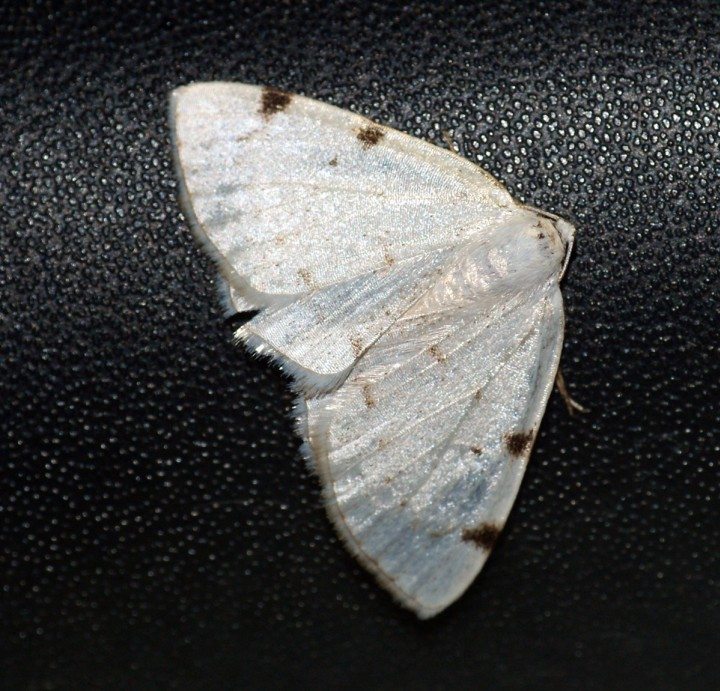 White-pinion Spotted Copyright: Ben Sale