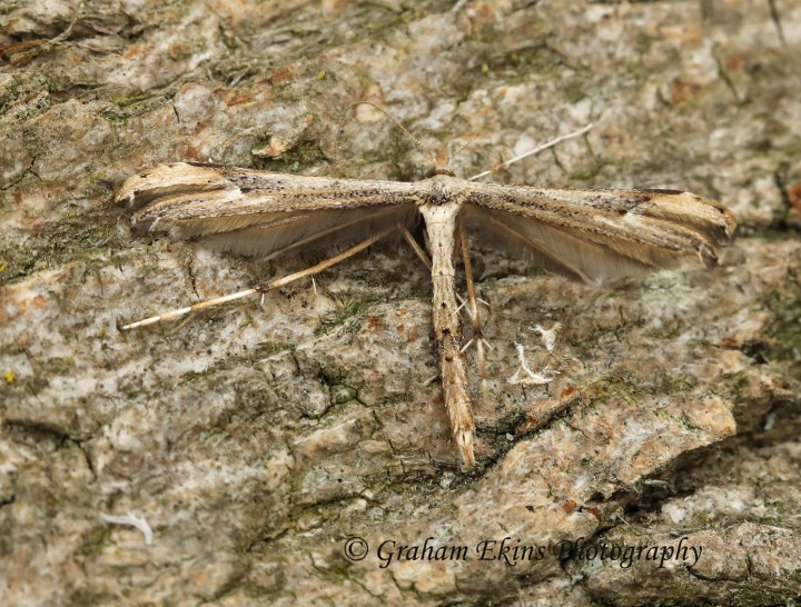 Oidaematophorus lithodactyla  (Dusky Plume) Copyright: Graham Ekins