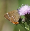 White-letter Hairstreak Copyright: Robert Smith