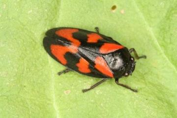 Cercopis vulnerata Copyright: Peter Harvey