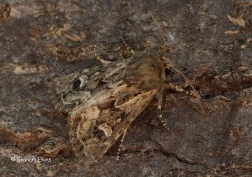 Sandhill Rustic Luperina nickerlii demuthi Copyright: Graham Ekins