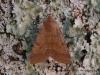Flounced Chestnut  Agrochola helvola Copyright: Graham Ekins