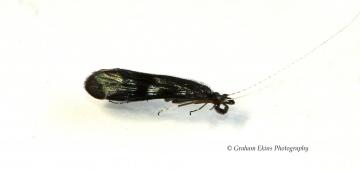 Mystacides azurea 2 Copyright: Graham Ekins