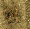 Tawny Marbled Minor   Oligia latruncula Copyright: Graham Ekins