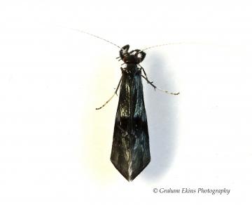 Mystacides azurea Copyright: Graham Ekins