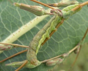 Small Ranunculus larva Copyright: Martin Anthoney
