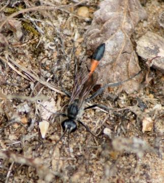 Ammophila sabulosa Copyright: Su Reed