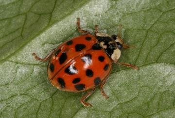 Harlequin ladybird var Copyright: Peter Harvey