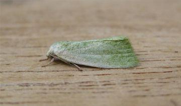 Cream Bordered Green Pea. Copyright: Stephen Rolls