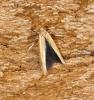 Zelleria hepariella 1 Copyright: Ben Sale