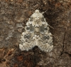 Marbled Beauty  Bryophila domestica Copyright: Graham Ekins