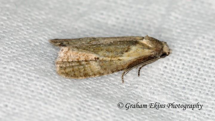 Phtheochroa inopiana  4 Copyright: Graham Ekins