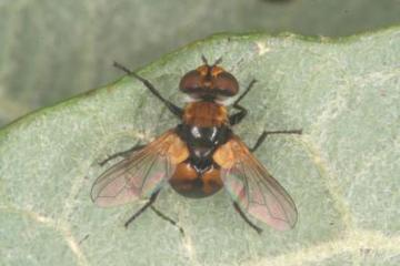 Cistogaster globosa