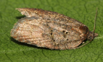 Acleris shepherdana Copyright: Peter Furze
