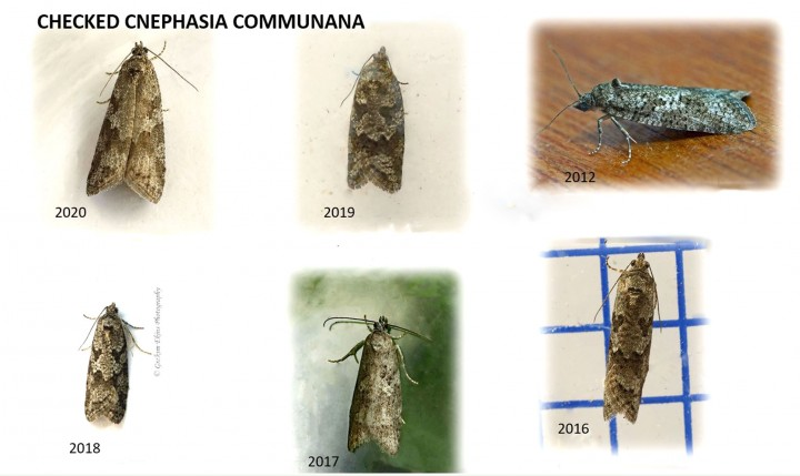 Cnephasia communana 7 all GD Copyright: Graham Ekins