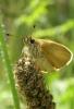 Thymelicus lineola Copyright: Sue Grayston