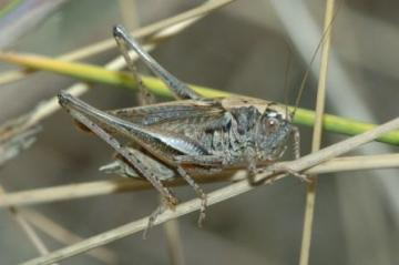 Grey Bush-cricket Copyright: Ted Benton