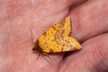 Pink-barred Sallow 3 Copyright: Ben Sale