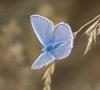 Common Blue (male) Copyright: Robert Smith