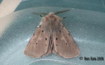 Muslin Moth Copyright: Ben Sale