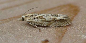 Eucosma tripoliana Copyright: Stephen Rolls
