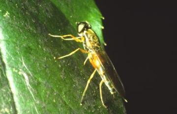 Sargus bipunctatus