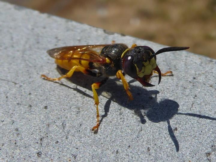 Bee Wolf Copyright: Alf Mullins