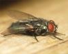 Protocalliphora azurea female 20160417-5337 Copyright: Phil Collins