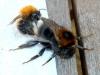 Bombus Hypnorum mating Copyright: Pauline Hollingsworth
