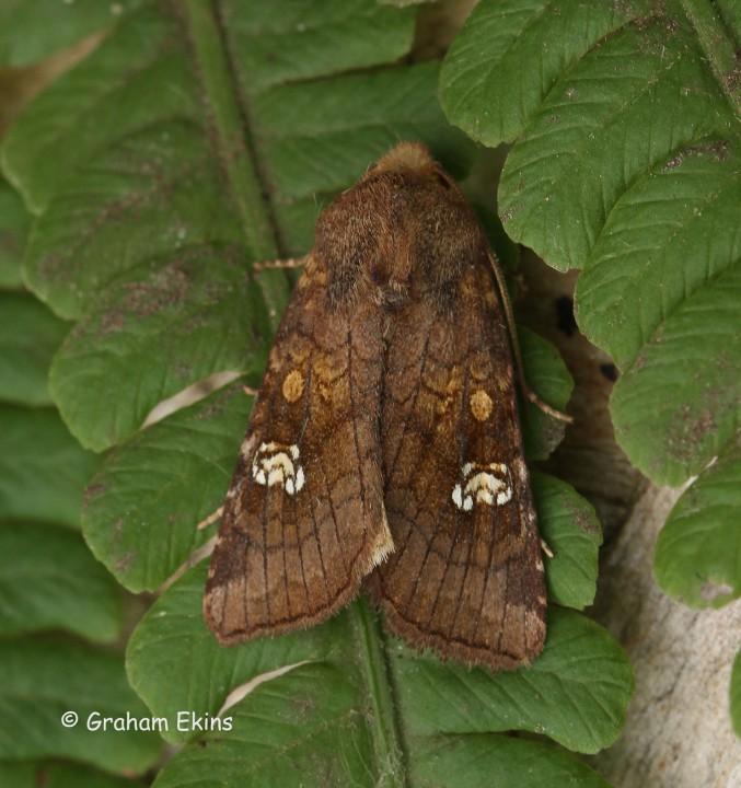 Amphipoea oculea Ear Moth Copyright: Graham Ekins