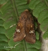 Amphipoea oculea Ear Moth Copyright: Graham Ekins