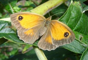 Gatekeeper butterfly in garden Copyright: Sue Grayston
