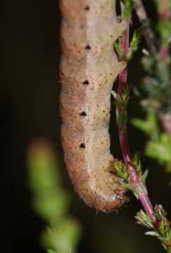 N fimbriata larvae on Ling Copyright: Robert Smith