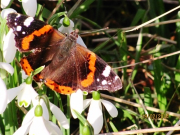 Red Admiral 4 Copyright: Graham Smith