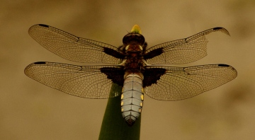 Broad Bodied Chaser - 18th June 2013 Copyright: Ian Rowing
