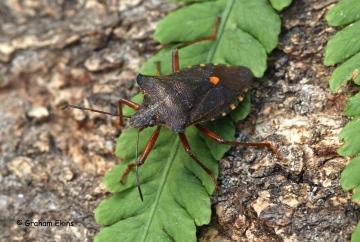 Pentatoma rufipes (Forest Bug) 2 Copyright: Graham Ekins