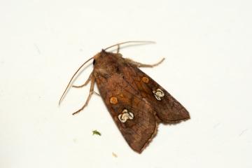 Ear Moth agg. Copyright: Ben Sale