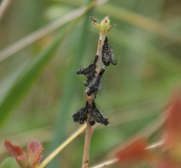 Emperor larva early moult Copyright: Robert Smith