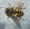 Helophilus pendulus - hoverfly Copyright: Martyn Everett