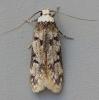 Endrosis sarcitrella   White-shouldered House Moth Copyright: Graham Ekins