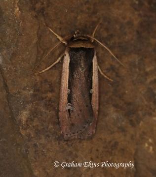 Radford's Flame Shoulder  Ochropleura leucogaster Copyright: Graham Ekins