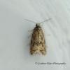 Cnephasia communana 6 GD Copyright: Graham Ekins