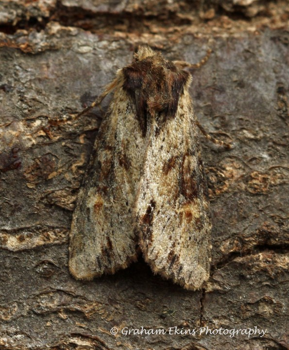 Apamea crenata   Clouded Bordered Brindle 1 Copyright: Graham Ekins