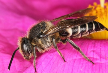 Coelioxys inermis female on Cistus Copyright: Peter Harvey