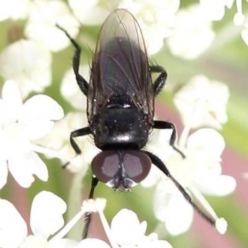 Litophasia hyalipennis (male) Copyright: Jeremy Richardson