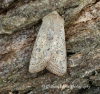 Orthosia gracilis  Powdered Quaker Copyright: Graham Ekins